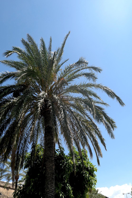 Palmier - Palma de Majorque