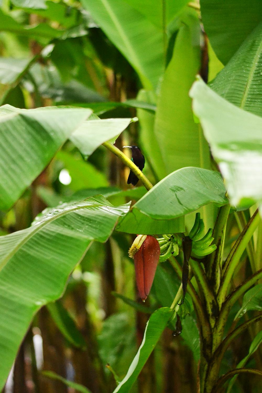 colibri bananeraie